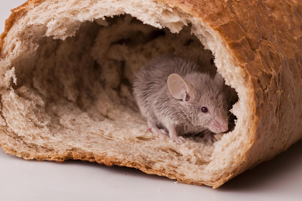 invasione-topi-derattizzazione-ecosistem-napoli