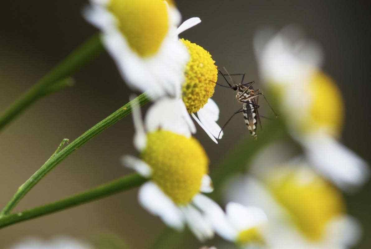 zanzare-disinfestazione-ecosistem-napoli
